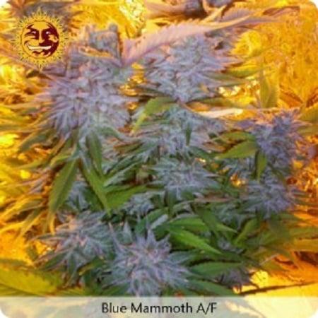 Barney's Farm Seeds Blue Mammoth Auto Feminized