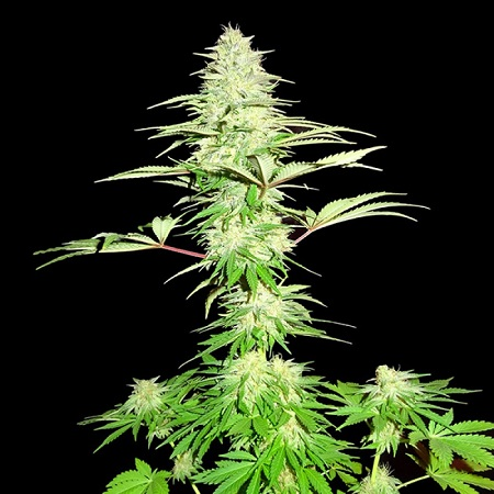 Sumo Seeds Blue Nitro Haze Feminized