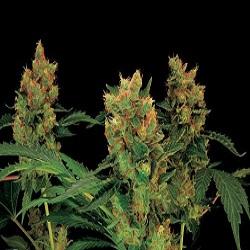 Dinafem Seeds Blue Hash Feminized (PICK N MIX)