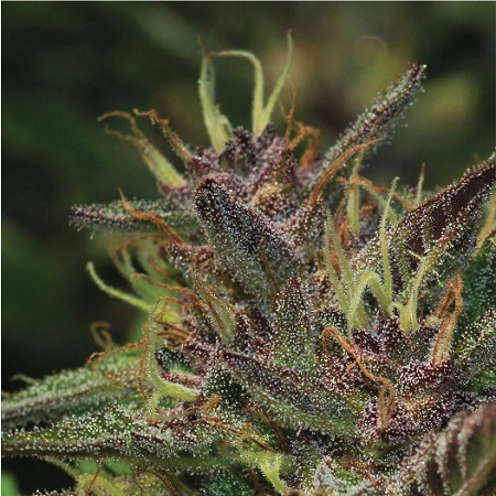 Blueberry Muffin - Feminized - Humboldt Seed Company