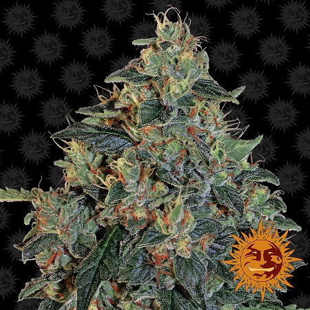 Barney's Farm Seeds Blueberry O.G. Feminized