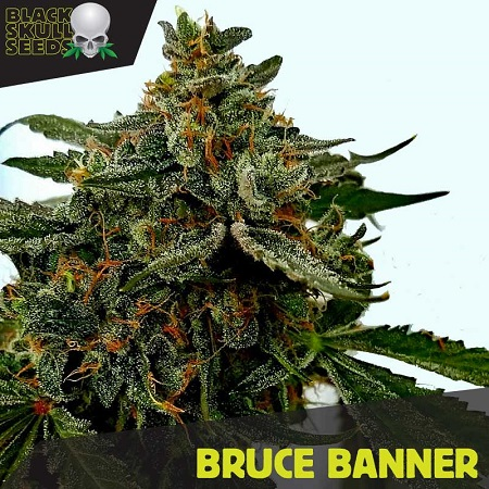 Black Skull Seeds Bruce Banner Feminized