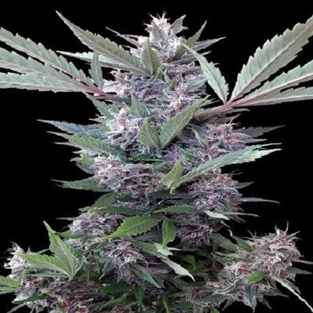 Bubba Kush x PCK - Feminized - Ace Seeds