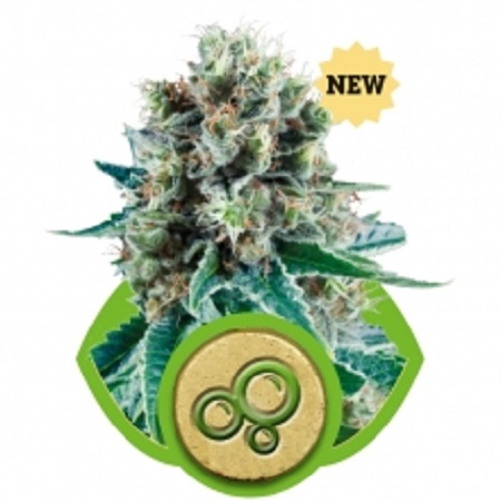 Bubble Kush Auto – Feminized – Royal Queen Seeds