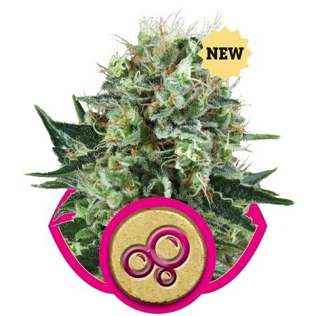 Royal Queen Seeds Bubble Kush Feminized
