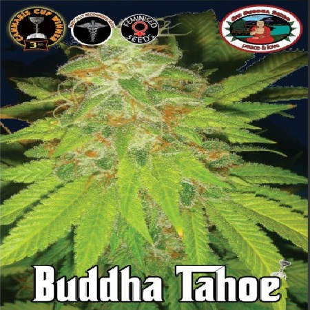Big Buddha Seeds Buddha Tahoe Feminized