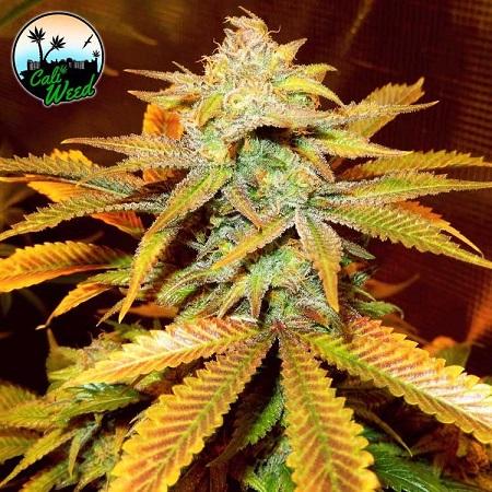 Cali Glue - Feminized - Cali Weed