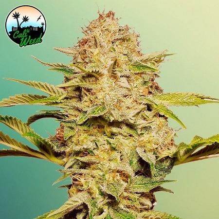 Cali Glue Auto - Feminized - Cali Weed
