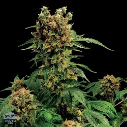 Dinafem Seeds California Hash Plant Feminized (PICK N MIX)