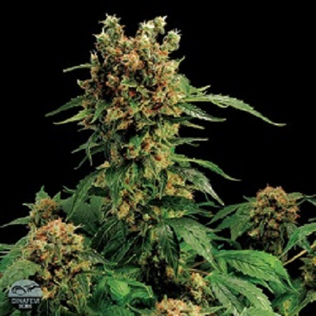 Dinafem Seeds California Hash Plant Feminized