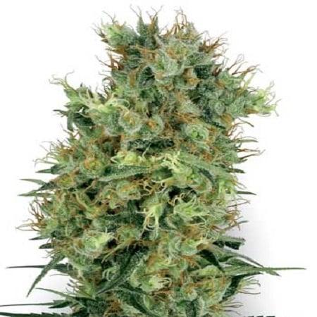White Label Seed Company Cali Orange Bud Regular