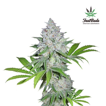 FastBuds Seeds Californian Snow Auto Feminized