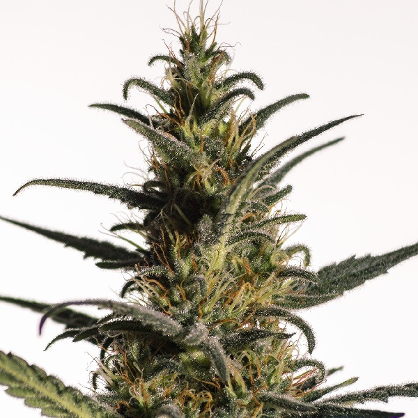 Medical Marijuana Genetics Seeds Candida (CD1) Feminized