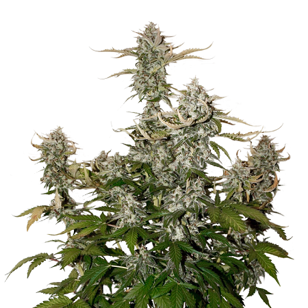 Seed Stockers Seeds O.G. Candy Dawg Kush Auto Feminized
