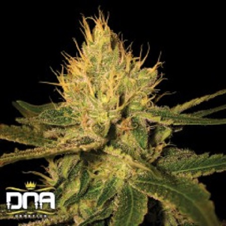 Cannalope Haze - Feminized - DNA Genetics