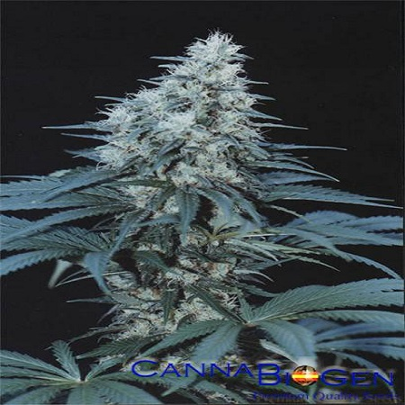 CannaBiogen Seeds Caribe Regular