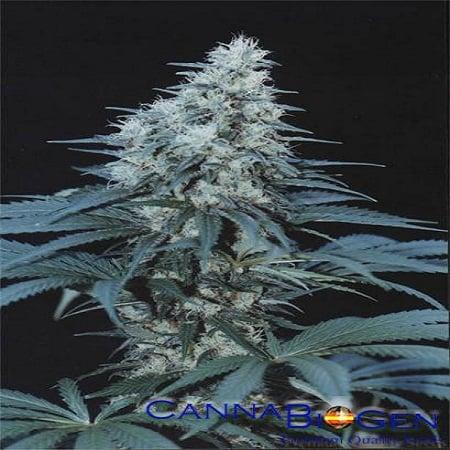 CannaBiogen Seeds Caribe Feminized