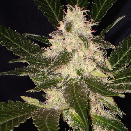 CBD Seeds Widow Feminized
