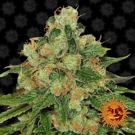 Barney's Farm Seeds CBD Caramel Regular