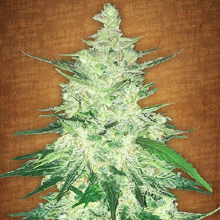 FastBuds Seeds CBD Crack Feminized (PICK N MIX)