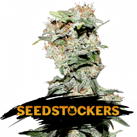 CBD Critical XXL - Feminized - Seed Stockers