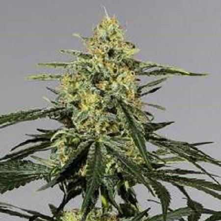 CBD Extreme 20:1 (CBD:THC) - Feminized - Bulk Seeds Premium