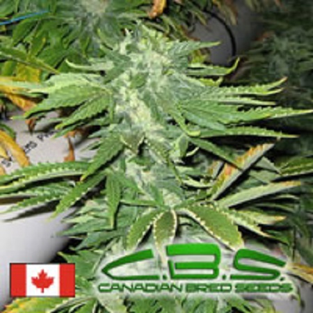 Canadian Bred Seeds Bunker Bud Regular