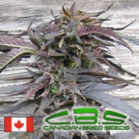 Canadian Bred Seeds Lethal Purple Regular