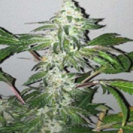 Cali Connection Seeds Girl Scout Cookies Feminized