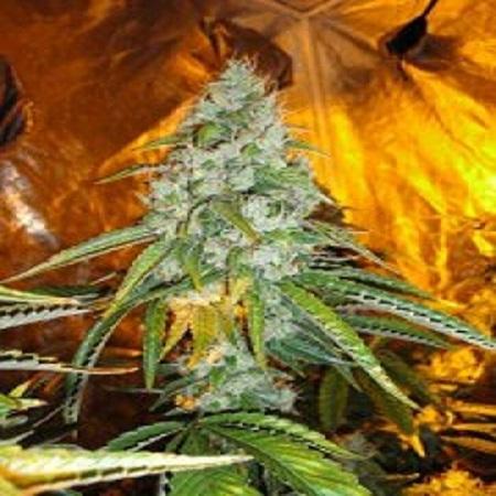 Cali Connection Seeds Original Sour Diesel Regular