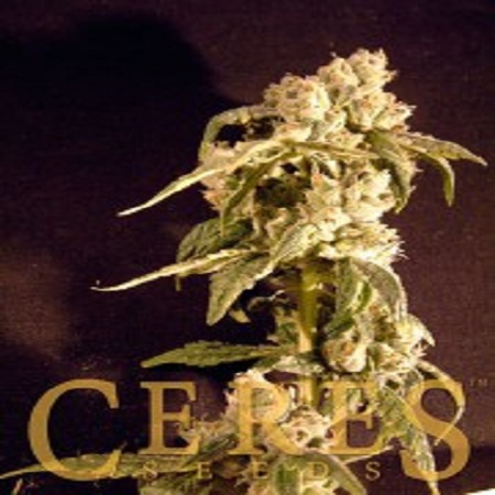 Ceres Seeds Easy Rider Auto Feminised