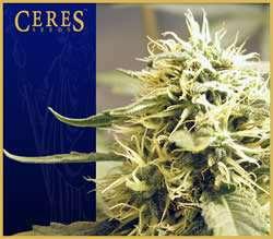Ceres Seeds Kush Feminized