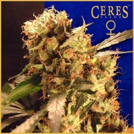 Ceres Seeds Orange Bud Feminised