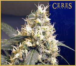 Ceres Seeds Skunk Regular