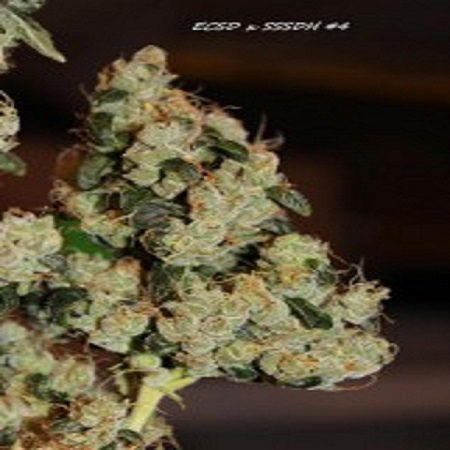 Connoisseur Genetics Seeds East Coast Sour Diesel Haze Feminised
