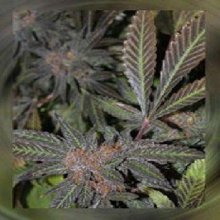 Connoisseur Genetics Seeds Grandaddy Purple S1 Feminized