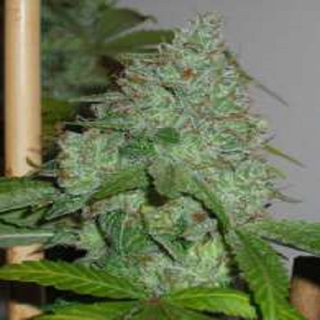 Connoisseur Genetics Seeds OG Chem Regular