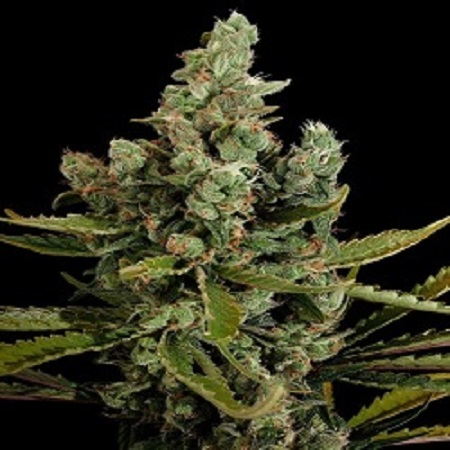 Dinafem Seeds Cheese Feminized