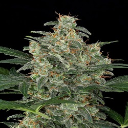 Dinafem Seeds Cheese Auto Feminized (PICK N MIX)