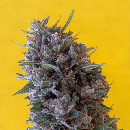 Breaking Buds Seeds Cheeisenberg Feminized (PICK N MIX)