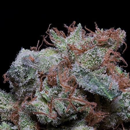 Don Cherrypie - Feminized - Don Avalanche Seeds