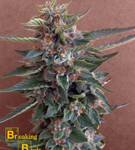 Breaking Buds Seeds Chocolate Cookies Feminized (PICK N MIX)