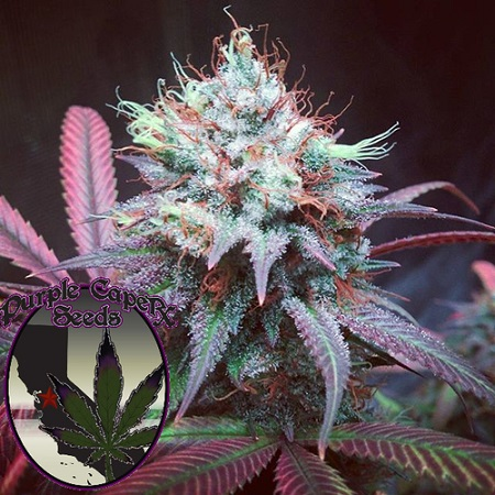 Purple Caper Seeds Chocolate Hashberry Regular
