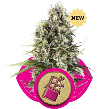 Royal Queen Seeds Chocolate Haze Feminised (PICK N MIX)