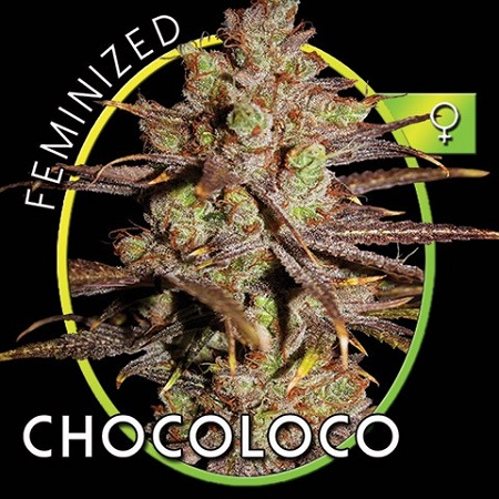 Vision Seeds Chocoloco Feminized