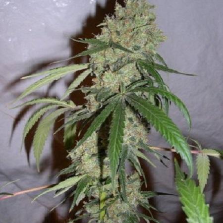 Bulk Seeds Chocolope Feminized