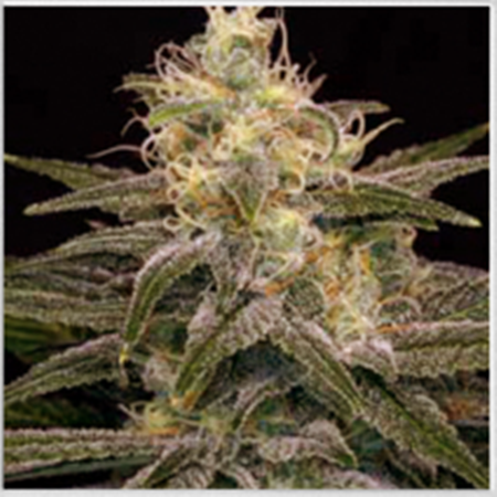 BlimBurn Seeds Chocolopez Feminized