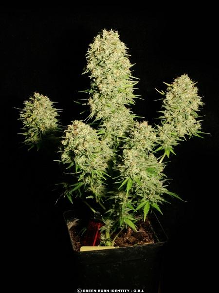 Serious Seeds Chronic Regular