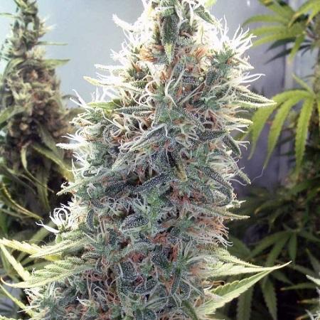 Bulk Seeds Cinderella 99 Feminized
