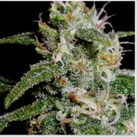 BlimBurn Seeds Cindy 99 Feminized